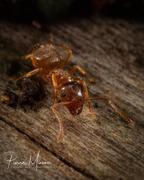 Little wood ant - portrait