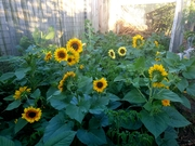 Sunflowers a little late