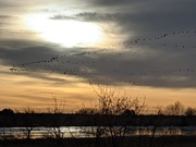 Early morning geese over Coot Lake