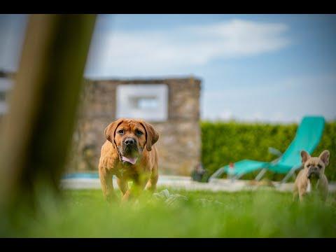 Elite Boerboel Tango 4 month puppy