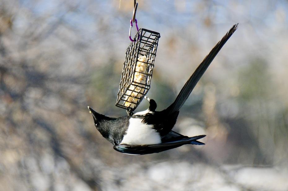Magpie eating suet