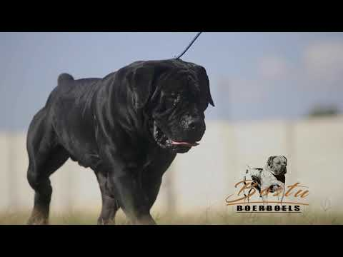 Black South African Boerboel