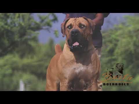 Bostu Zazu South African Boerboel
