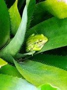 Frogs in my Bromeliaceae  016