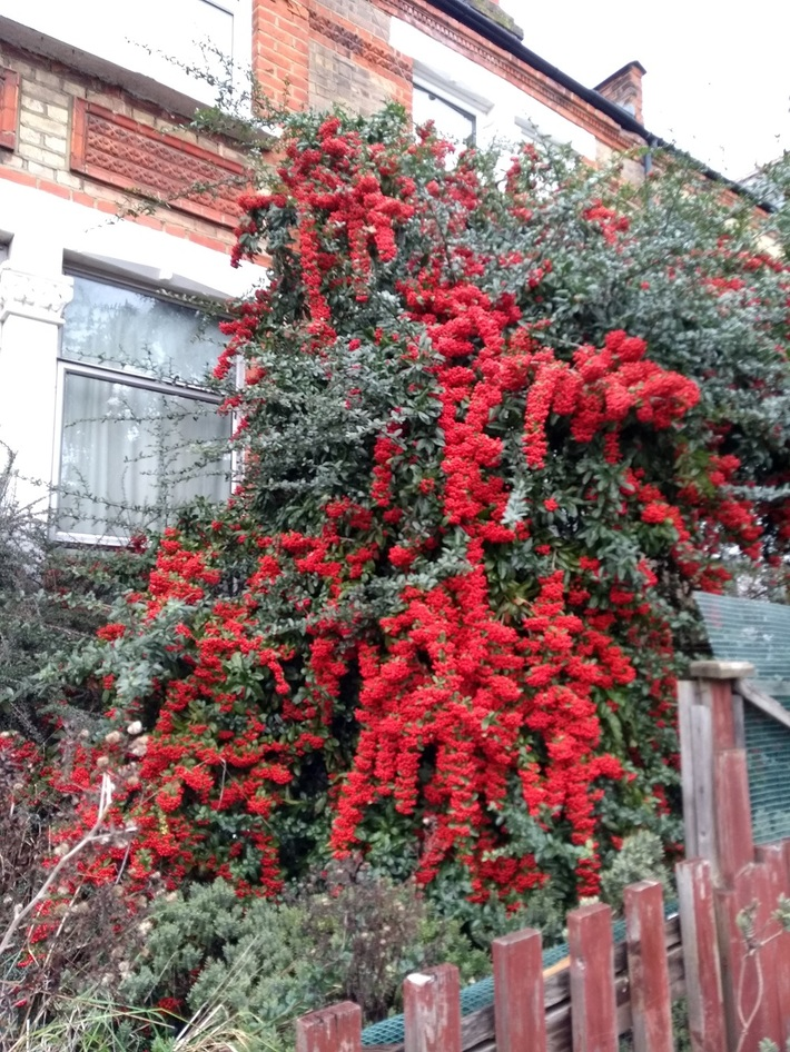 Red berries Palmerston rd