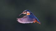 Kingfisher (2)