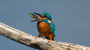 Hungry Kingfisher