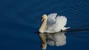 Swan (12)