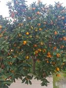 My favorite Kumquat Japanese Orange this period eat ! I will eat all the tree ha ha