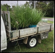 The Vetiver harvest begins...sort of.