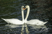 swanlove