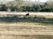 White Tail Doe in Lake Texoma Park