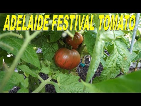 Adelaide Festival Tomato - One Of The BEST Dwarf Tomatoes. Delicious!