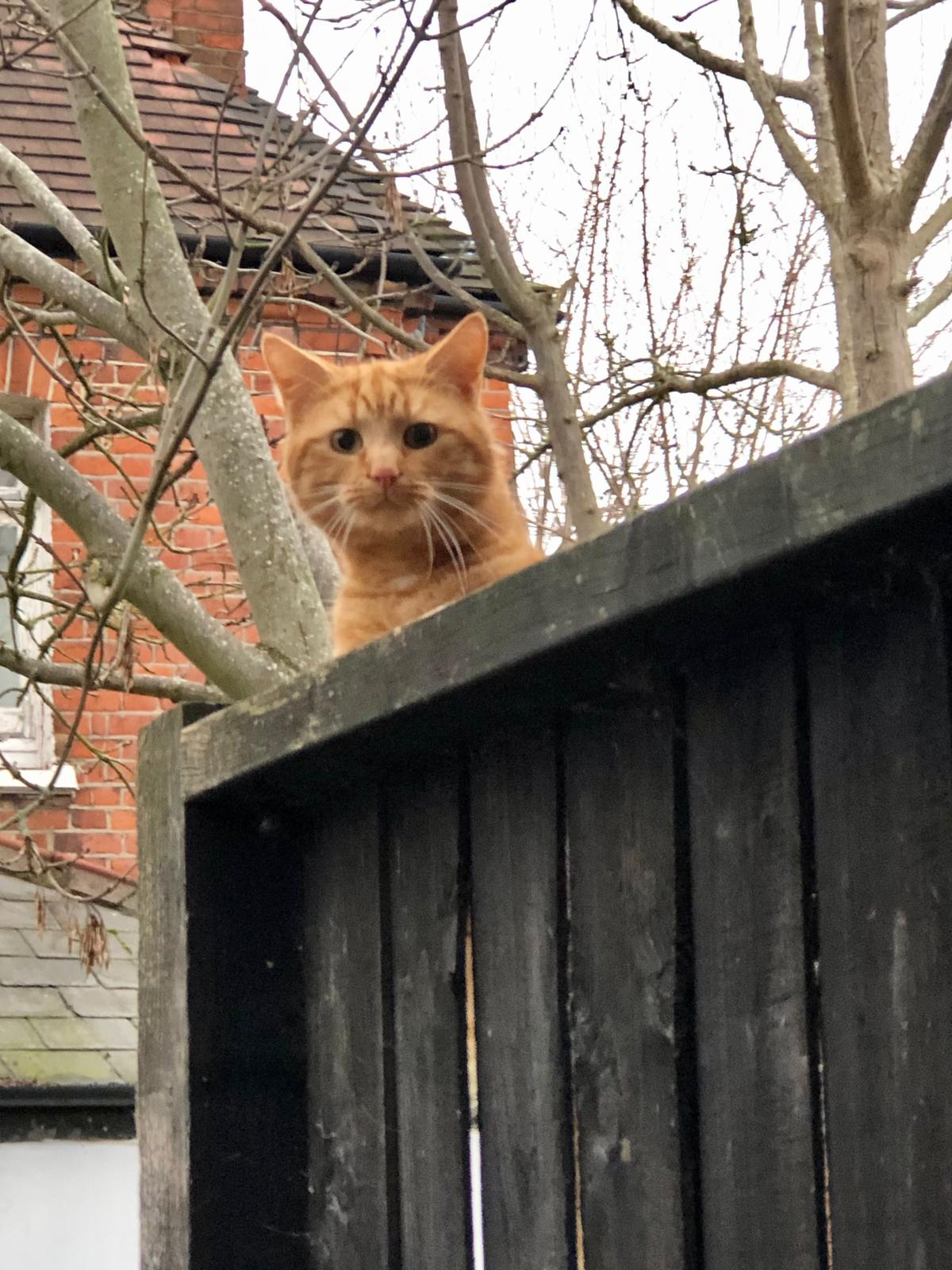 Is anyone missing a ginger cat?