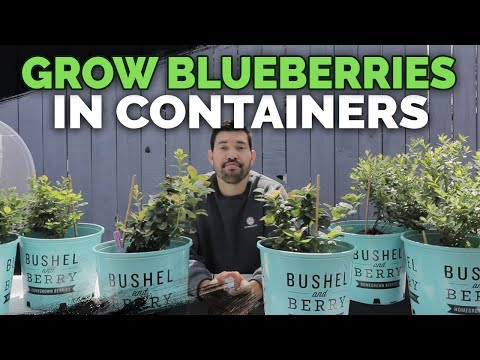 How to Grow Blueberries in Containers: Soil and Planting