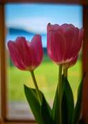 Rosy view of the world, with tulips