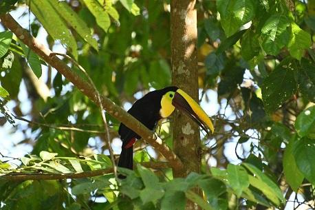 hatillo toucan