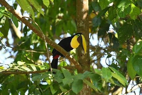 hatillo toucan2