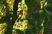 golfe osa les capucins du jardin