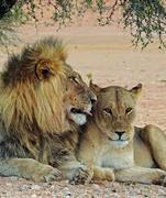 1 LION LIONNE