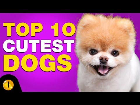 buy cute Yorkies puppy in USA Online - we are the best yorkies breeder