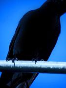 Crow Body