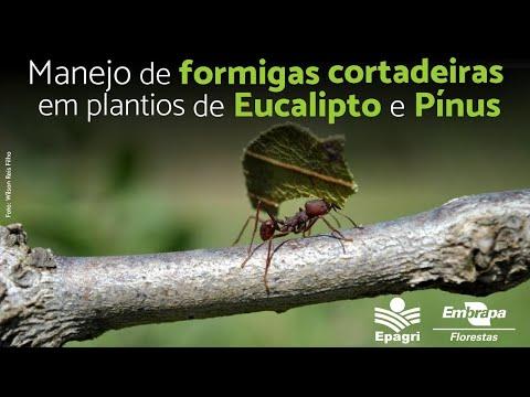 Manejo de Formigas Cortadeiras em Plantios de Eucalipto e Pínus