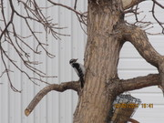 Female Downy Woodpecker 3 2 2021