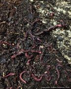 Introduction to worm farming at home
