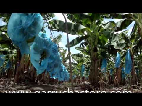 Transporte de bananos con garruchas en cable vía