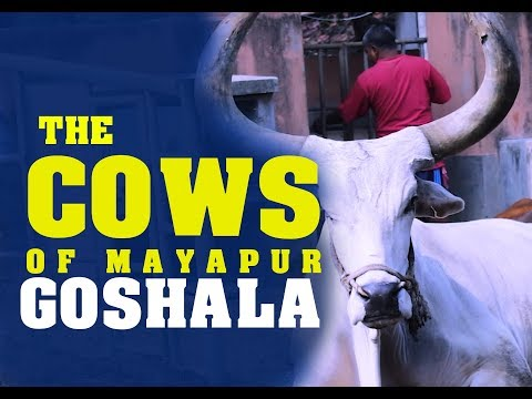 GOSHALA MAYAPUR - The Cows of ISKCON Sri Mayapur