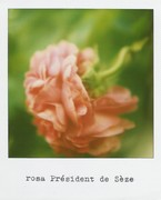 Ogni rosa ha il suo liuto interiore Alberto Casiraghy