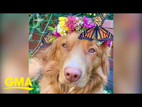 Gentle dog is BFFs with butterflies and one with nature l GMA Digital