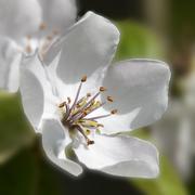 fiore di mela cotogna