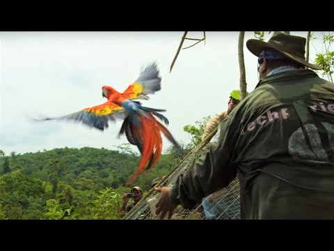 Macaws Released Into The Wild | Jungle Animal Hospital | BBC Earth