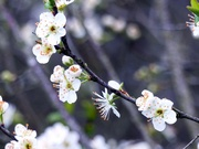 Cherry Blossoms at Eleusis