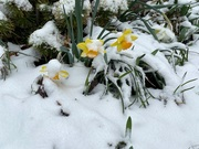Daffodils in the early morning snow