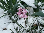 Hyacinth in the early morning snow