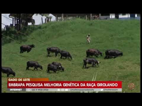 Embrapa pesquisa melhoria genética da raça Girolando