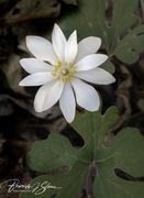 Bloodwort - my favorite spring wildflower