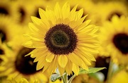 1,000 Sunflowers - Sunflower Plant Giveaway