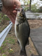 """10"""" and Thick White Perch"""