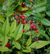 04 25 21 Berries on a bush at church