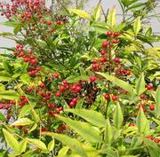04 25 21 berry bush at church