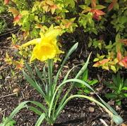 04 25 21 Daffodil at church