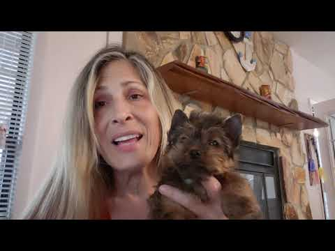Yorkie for Sale - Yorkie puppies for sale - Puppiesshops