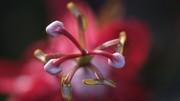 Passiflora rossa01
