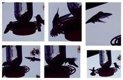 Hummingbird Feeding Ballet