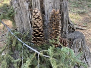 Yosemite pine cones