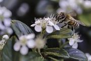 ape sul bianco fiore
